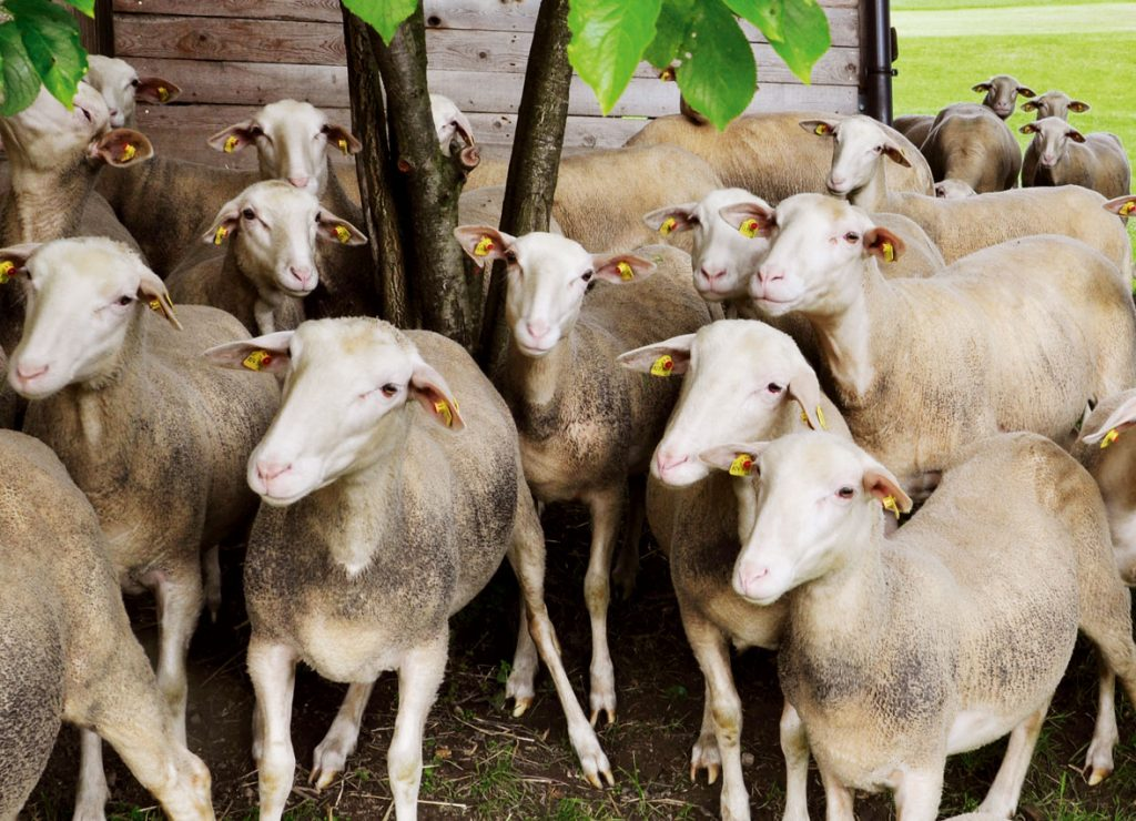 Auf's Schaf gekommen