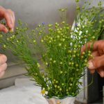 Leinpflanzen am Bio-Schafflhof