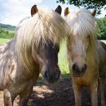 Pferde am Reiterhof Suassbauer