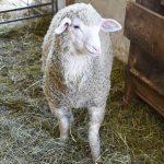 Wolliges Schaf am Schafflhof