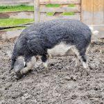 Glückliches Mangalitza Schwein am Kaspergut im Innviertel