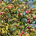 Apfelbaum am Urlaub am Bauernhof Moser