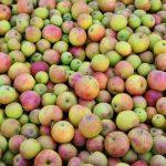 Äpfel am Urlaub am Bauernhof Moser