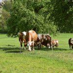 Kühe Turmkeller Urlaub am Bauernhof