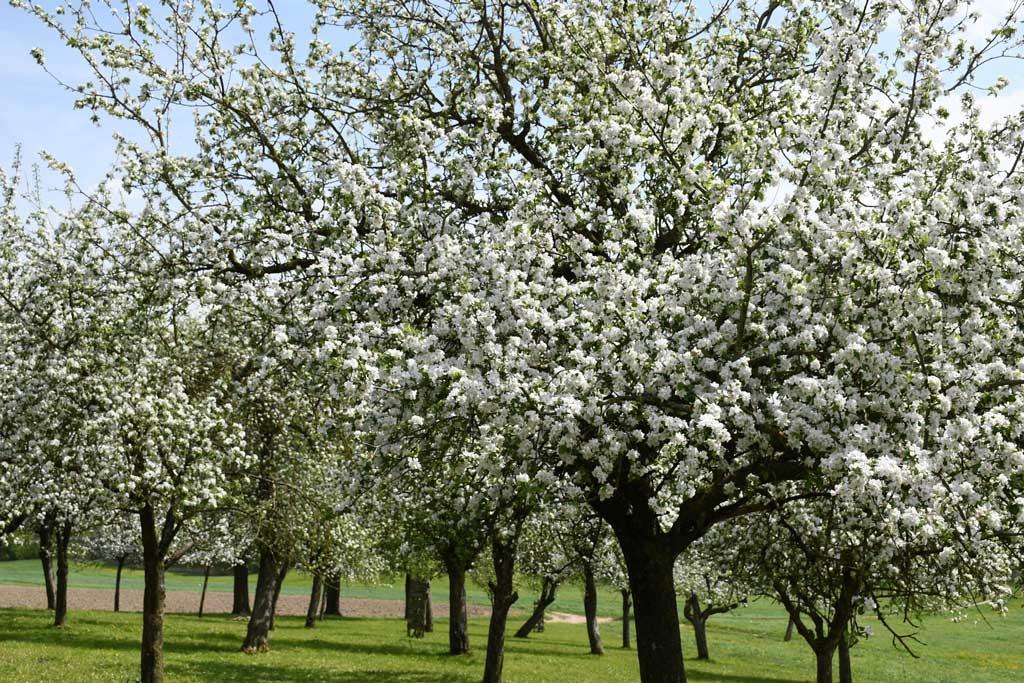 Blühende Obstbäume am Ferienhof Turmkeller