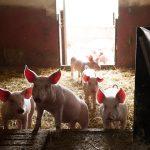 Schweine Turmkeller Urlaub am Bauernhof