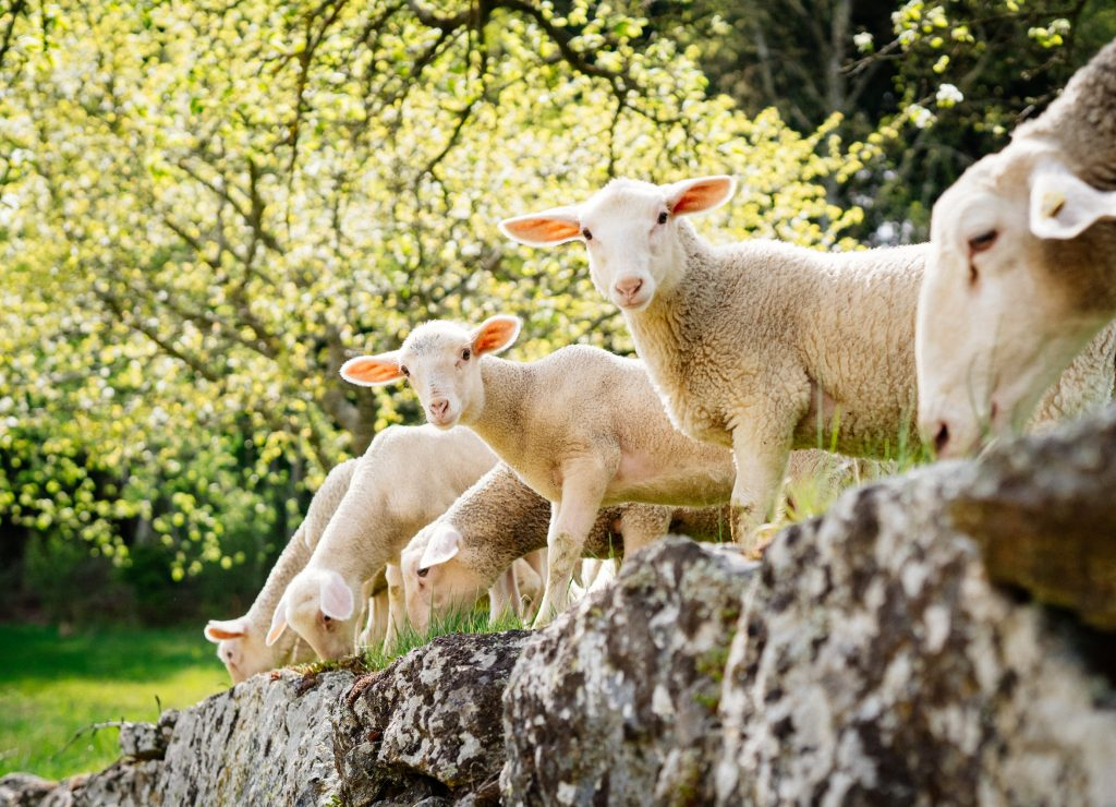 Richtig Bock aufs Schaf am Biohof Abraham